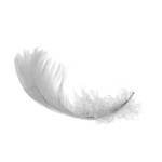 isolated swan feather